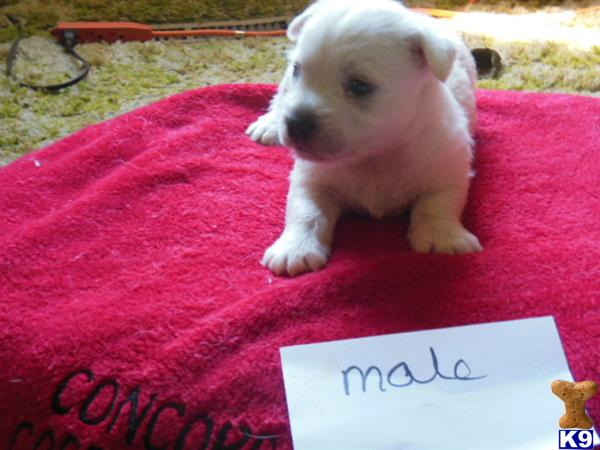 AKC WEST HIGHLAND WHITE TERRIERS