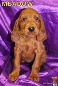 irish setter puppy posted by rosevalleykennel