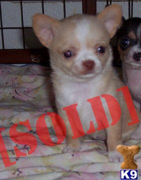 Teacup Toy Applehead Chihuahua Puppies For Sale In New York Call me