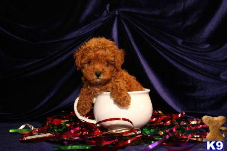 Maltipoo Puppy For Sale Maltipoo Puppies For Sale In New York