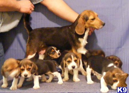 Beagle Puppy for Sale: Toy Beagle puppies for sale in New ...