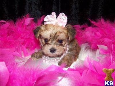 Maltipoo Puppies on Maltipoo Puppies