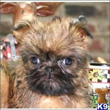 Brussels Griffon Puppies on Brussels Griffon Puppies For Sale In The New York Area    631 923 3111