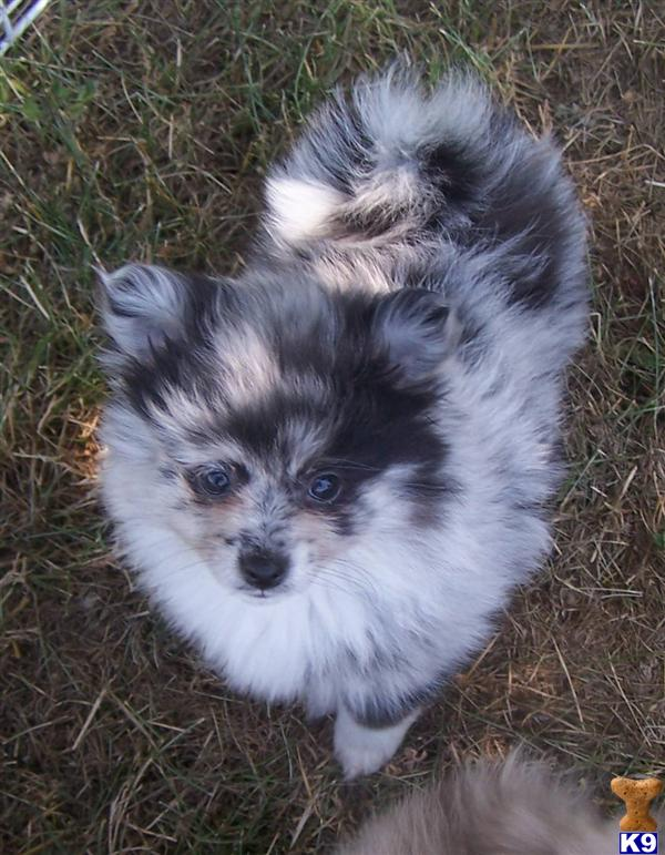 blue pomeranian for sale pomeranian puppy for sale blue merle pomeranians for sale 7256
