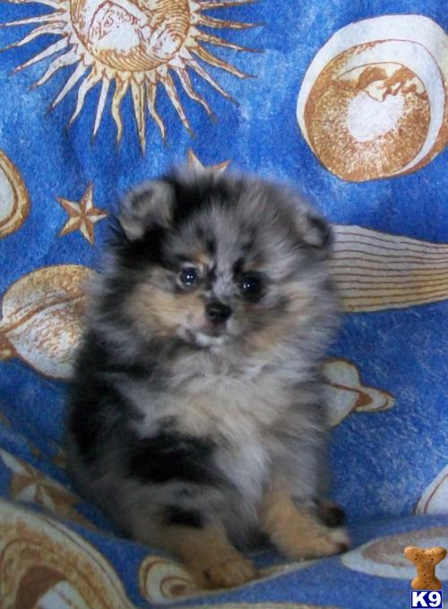 Pomeranian Puppies For Sale Pomeranian Puppies For Sale Nyc