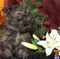 cairn terrier puppy posted by rowswood