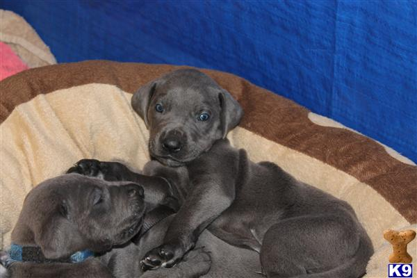 Great Dane Puppies in OH