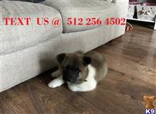 akita puppy posted by royalteacup1