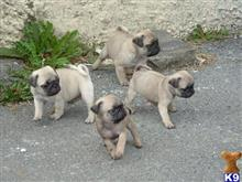 pug puppy posted by rozylee1989