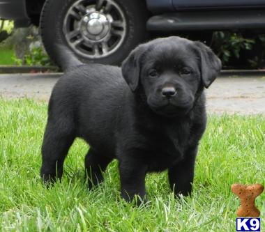 Labrador Retriever Puppies on California Labrador Retriever Puppies
