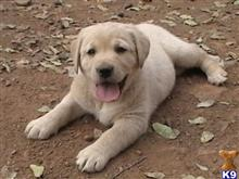 labrador retriever puppy posted by rufflabs