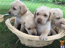 labrador retriever puppy posted by russandmichelle83
