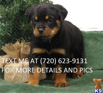 rottweiler puppy posted by ruthtaylor2