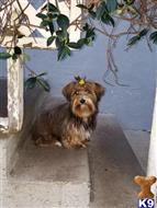 yorkshire terrier puppy posted by rvera