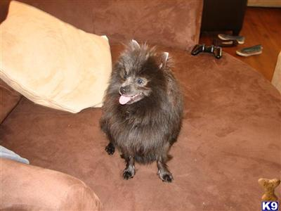 Pomeranian Puppies For Sale In California Southern