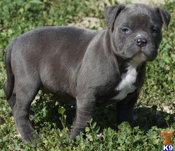 American Pit Bull Ear Cropping Http Www K9stud Com Puppiesforsale ...