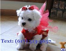 maltese puppy posted by san72
