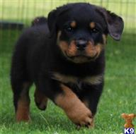 rottweiler puppy posted by sanchezme
