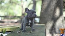 french bulldog puppy posted by sandiego509