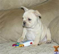 french bulldog puppy posted by sandy22
