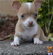 chihuahua puppy posted by sandyjane059