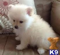 pomeranian puppy posted by sarah blaze