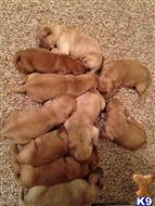 golden retriever puppy posted by saralmick1
