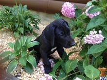 great dane puppy posted by scat413