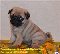 pug puppy posted by scottclaudine