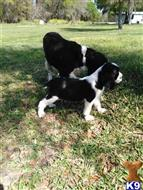 english springer spaniel puppy posted by sdeese