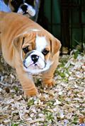 bulldog puppy posted by sduboisemond