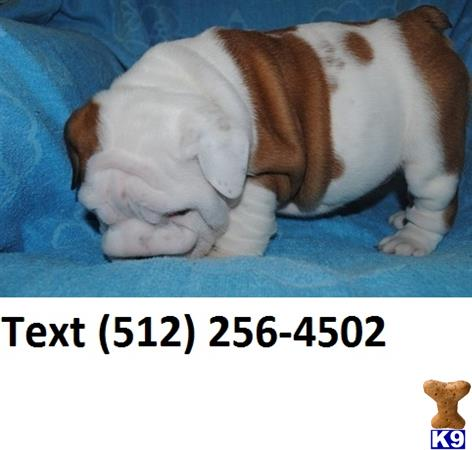 english bulldog puppies for sale with papers There are 17 english bulldog adult dogs for sale located in and all papers akc registered pure bred english bulldog puppies for adoptionso cute they.