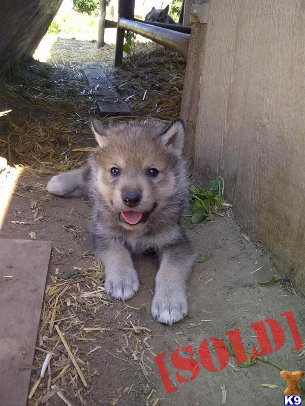 Pics Photos - Wolf German Shepherd Mix Puppy Wolfdog Puppies Wolf ...