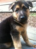 german shepherd puppy posted by shanb