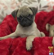 pug puppy posted by shanelbricga