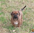 rhodesian ridgeback puppy posted by shannon heiner