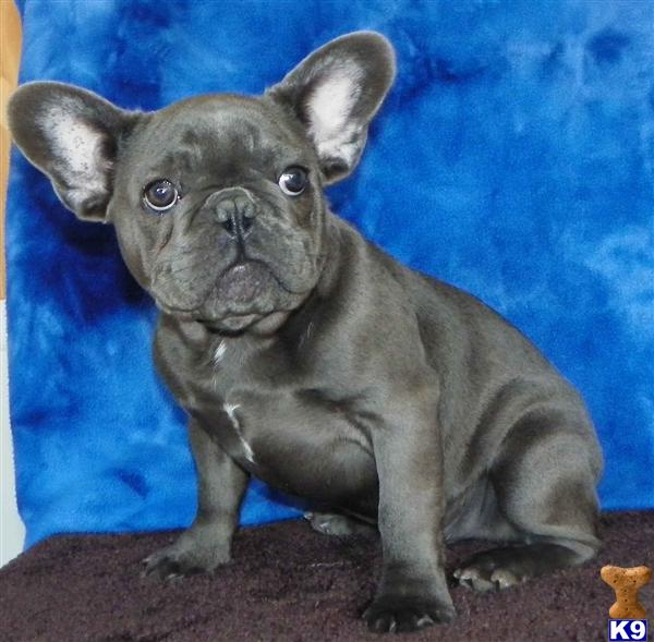 french bulldog california document moved 2150