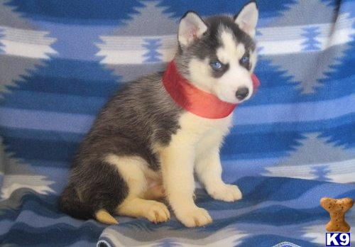 siberian husky puppy posted by shapper