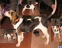 treeing walker coonhound puppy posted by sharptooth
