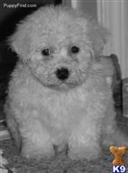 bichon frise puppy posted by shihtzu4
