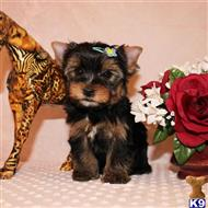 yorkshire terrier puppy posted by shinji4eva