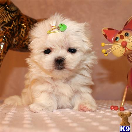 maltese puppy posted by shinji4eva
