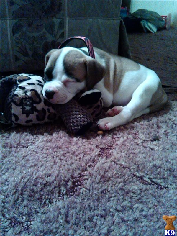 american bulldog puppy posted by shipetiana2093