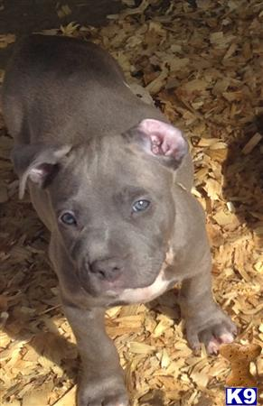american pit bull puppy posted by showtizzle
