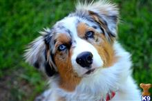 australian shepherd puppy posted by silverbrookaussies