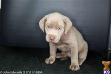 labrador retriever puppy posted by silverdollardogs