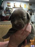 labrador retriever puppy posted by silverkingkennel