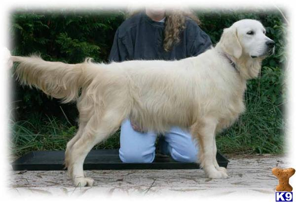 Golden Retriever Dog For Sale Great Prelims 8 Month Old Stud