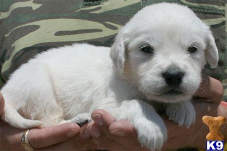 Gorgeous Champion Lineage Full English Cream Puppy Available 623-393-0259