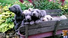 weimaraner puppy posted by silversun82